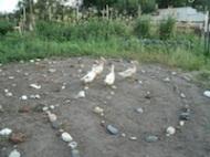 Duck Prayers